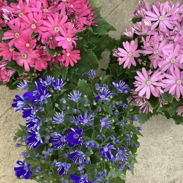 春の鉢花が入荷しました